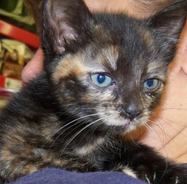 2012polydactyl-tortie