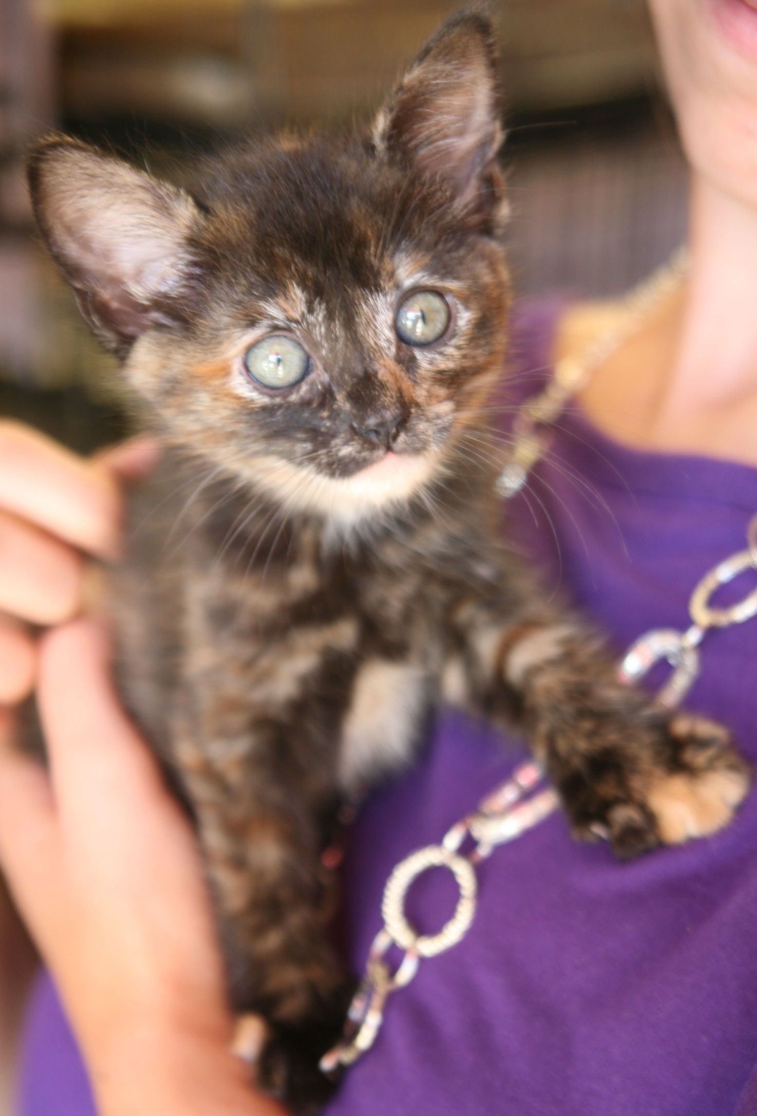 2012tortie polydactyl