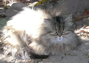Little Persian Tabby (15)
