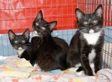 2013tuxedo-kittens