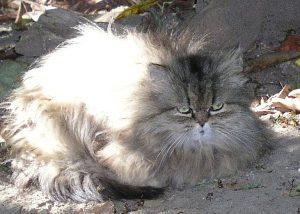Little Persian Tabby (15)
