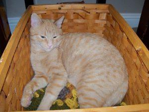 Chance sleeping in a basket, healed, feeling great!